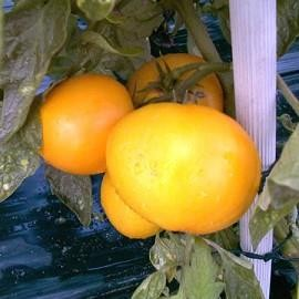 TOMATE Jaune lemon boy f1