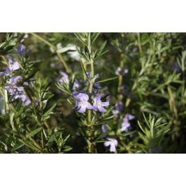 WESTRINGEA Fruticosa bleu