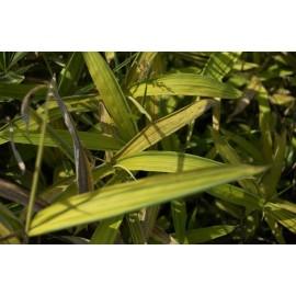 BAMBOU Arundinaria auricoma