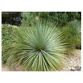 DASYLARION Glaucophyllum