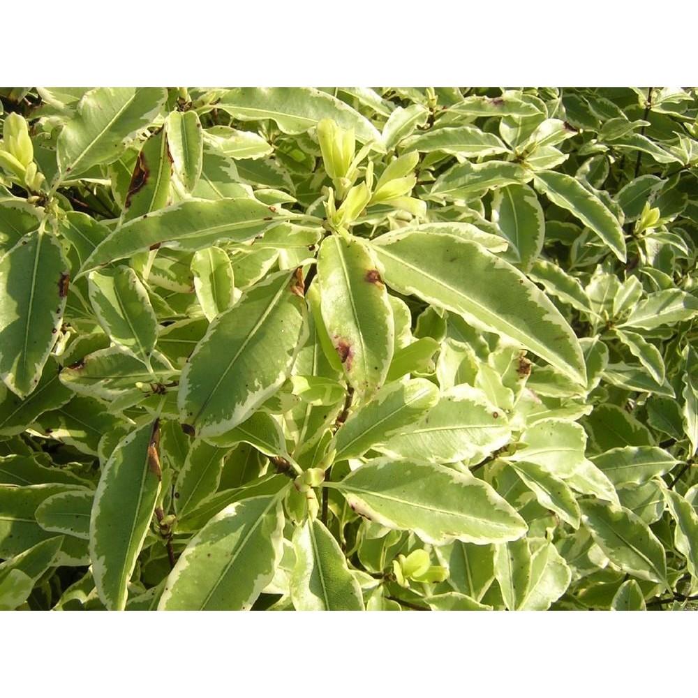 PITTOSPORUM Eugenoides variegatum