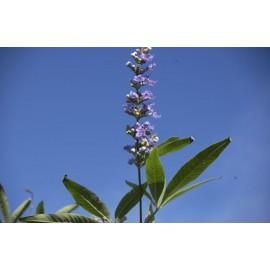 VITEX Agnus castus latifolia