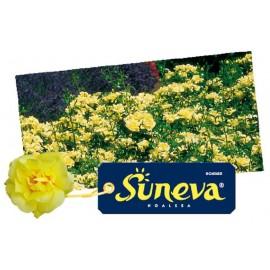 ROSIER Suneva ®