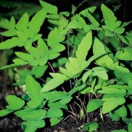 OSMUNDA Regalis purpurascens