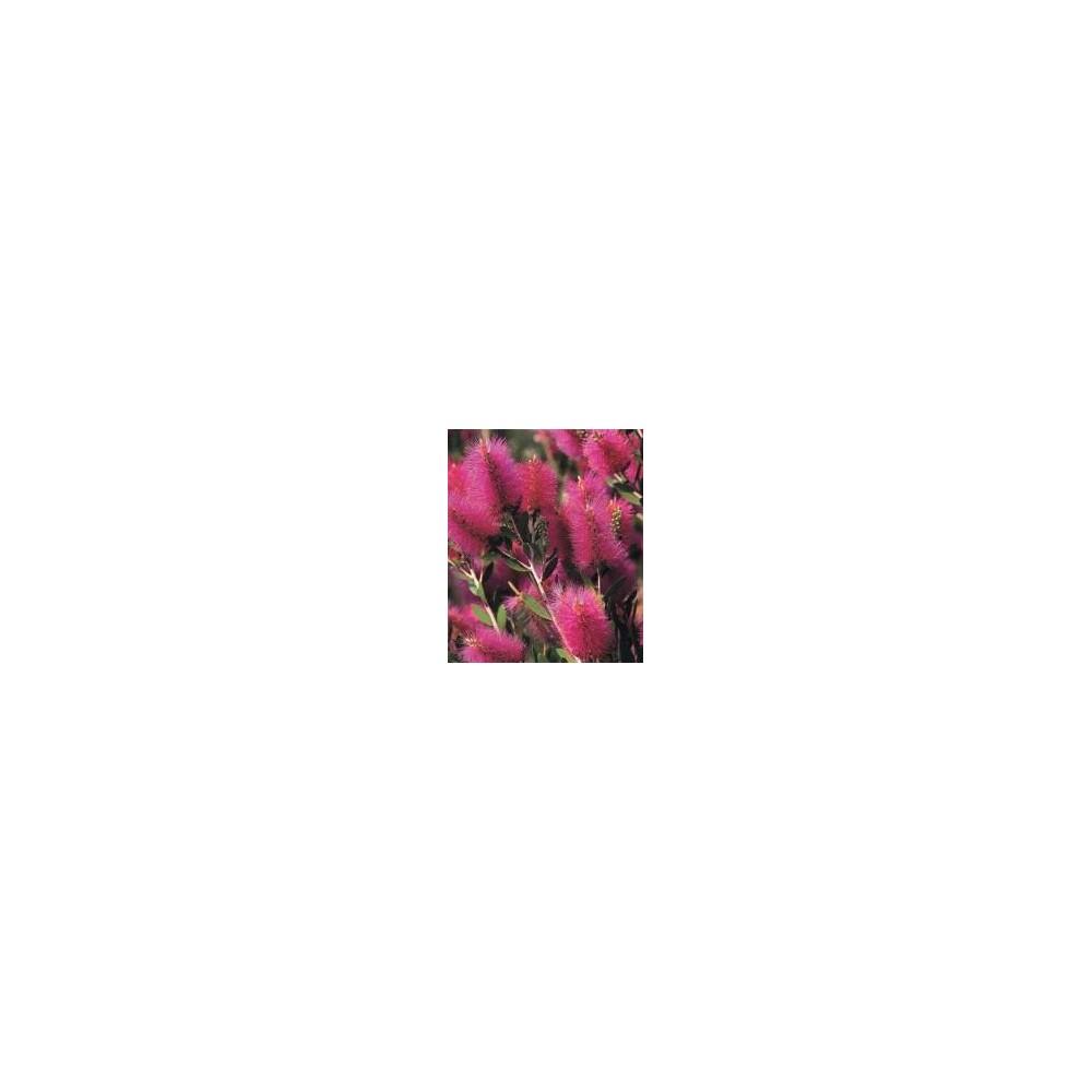 CALLISTEMON Viminalis hot pink