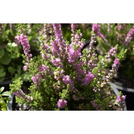 CALLUNA Dark star